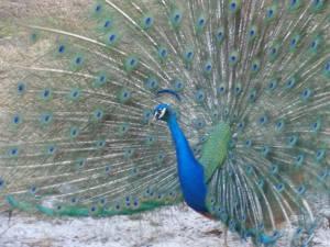 Frances Langford's Rio Peacocks Saved!