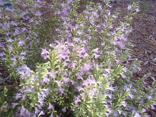 Volunteers Needed to Help Protect Endangered Plant July 1 & 15