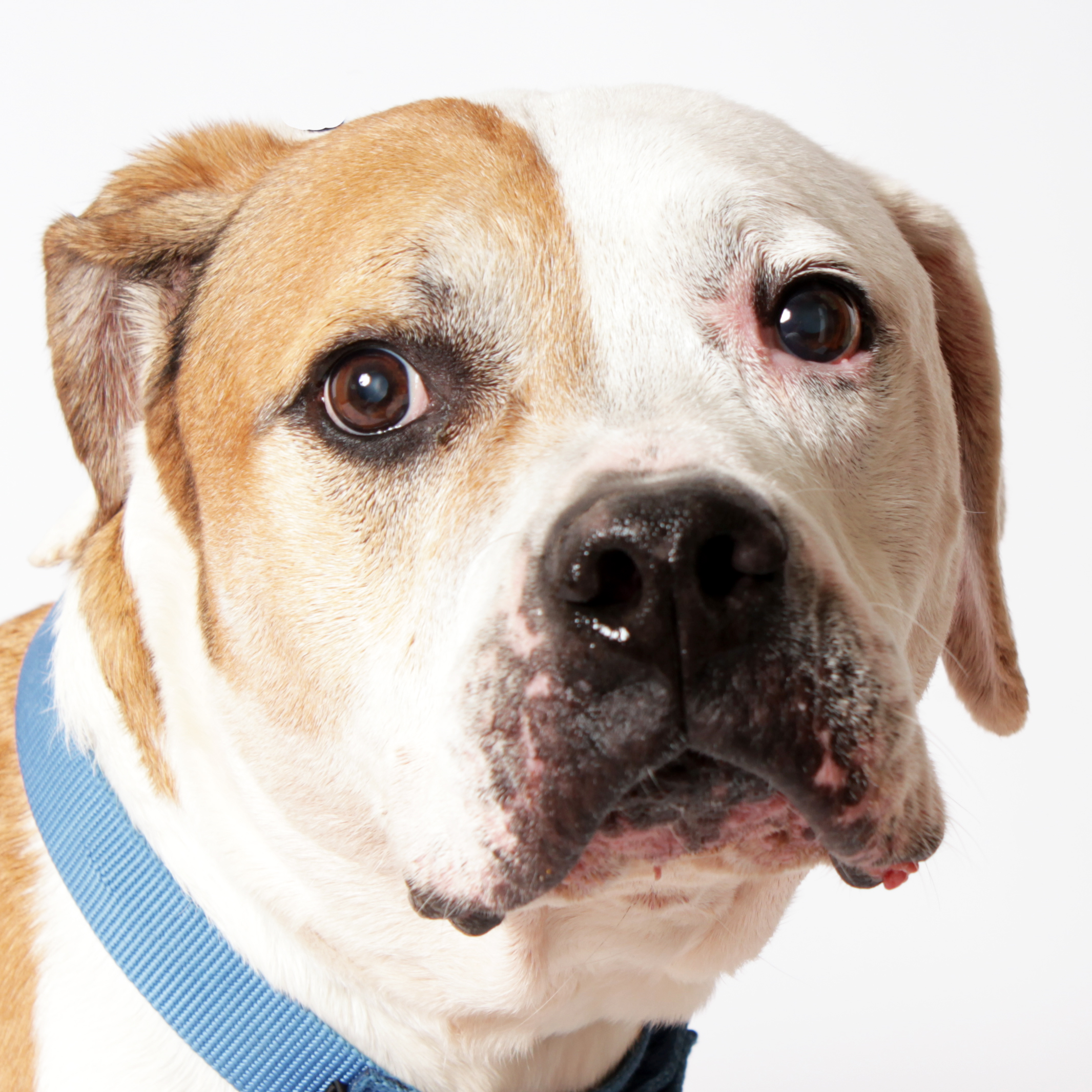 Adopt Petey! Rescue Pet of the Week!