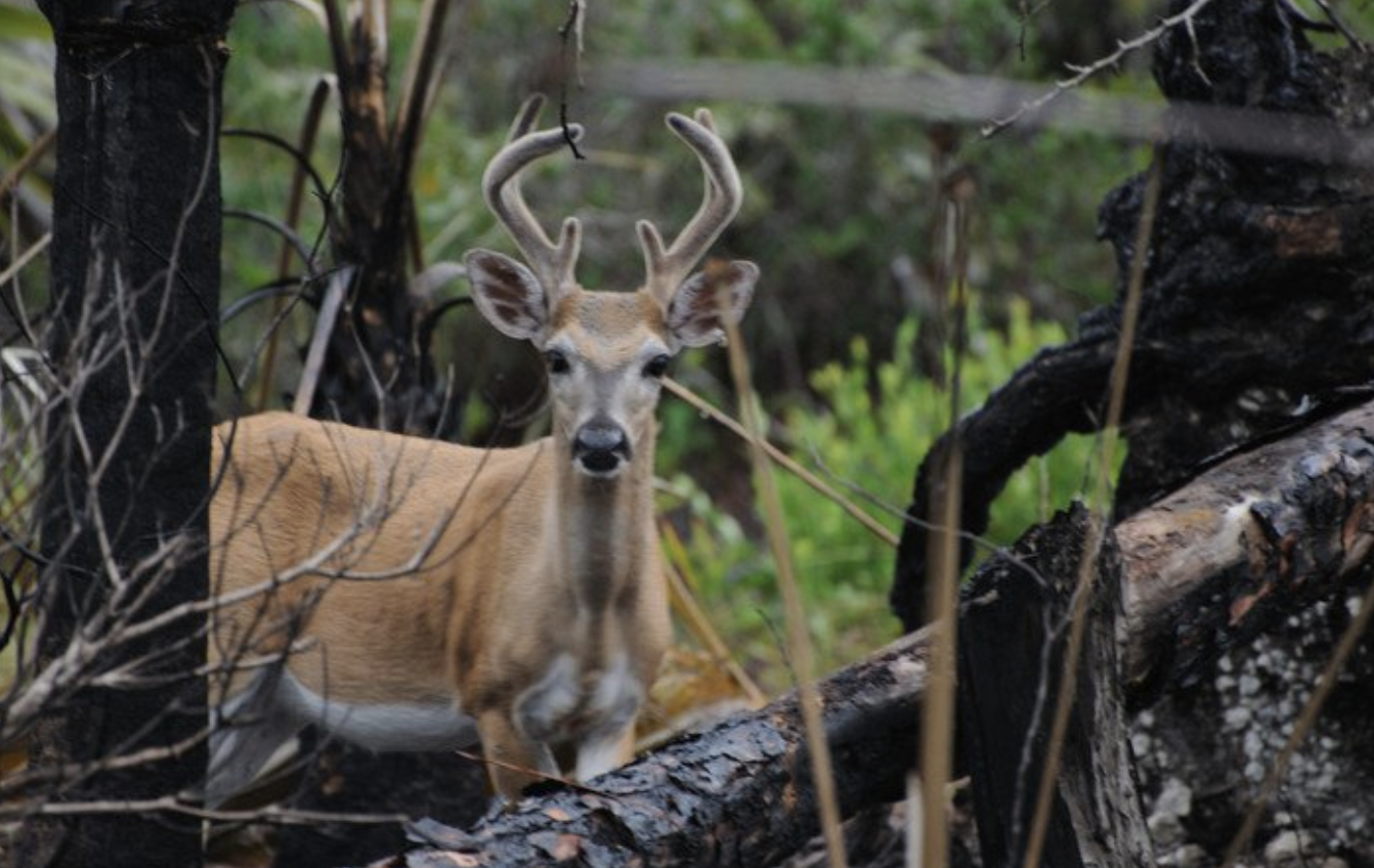 Trump Administration to Strip Florida Key Deer of Federal Protection